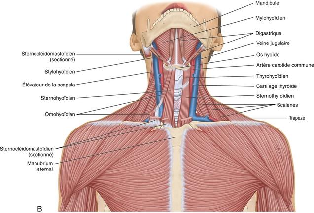 8 muscles du rachis et de la cage thoracique medicine key. Black Bedroom Furniture Sets. Home Design Ideas